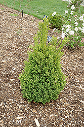 Green Mountain Boxwood (Buxus 'Green Mountain') at Hartman Companies