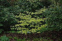 Golden Shadow Pagoda Dogwood (Cornus alternifolia 'Wstackman') at Hartman Companies