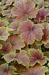 Delta Dawn Coral Bells (Heuchera 'Delta Dawn') at Hartman Companies