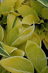 St. Elmo's Fire Hosta (Hosta 'St. Elmo's Fire') at Hartman Companies