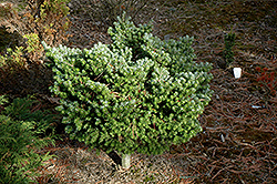 Silver Pearl Korean Fir (Abies koreana 'Silberperl') at Hartman Companies
