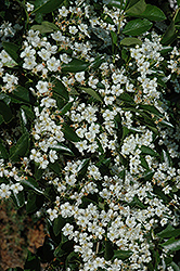 Thornless Cockspur Hawthorn (Crataegus crus-galli 'Inermis') at Hartman Companies