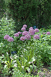 Globemaster Ornamental Onion (Allium 'Globemaster') at Hartman Companies