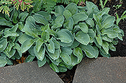 Blue Mouse Ears Hosta (Hosta 'Blue Mouse Ears') at Hartman Companies