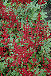 Red Sentinel Astilbe (Astilbe x arendsii 'Red Sentinel') at Hartman Companies