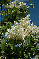 Ivory Silk Tree Lilac (tree form) (Syringa reticulata 'Ivory Silk (tree form)') at Hartman Companies