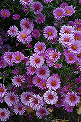 Purple Dome Aster (Aster novae-angliae 'Purple Dome') at Hartman Companies