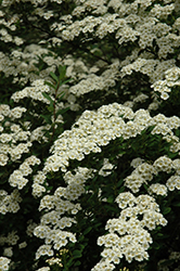 Snowmound Spirea (Spiraea nipponica 'Snowmound') at Hartman Companies