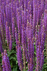 East Friesland Sage (Salvia nemorosa 'East Friesland') at Hartman Companies