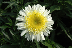 Real Dream Shasta Daisy (Leucanthemum x superbum 'Real Dream') at Hartman Companies