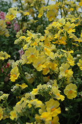 Sunsatia Lemon Nemesia (Nemesia 'Sunsatia Lemon') at Hartman Companies