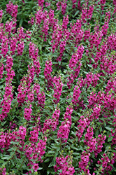 Archangel™ Raspberry Angelonia (Angelonia angustifolia 'Archangel Raspberry') at Hartman Companies