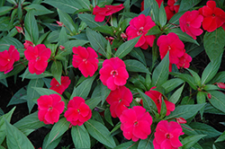 Divine™ Cherry Red New Guinea Impatiens (Impatiens hawkeri 'Divine Cherry Red') at Hartman Companies
