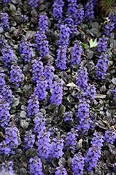 Black Scallop Bugleweed (Ajuga reptans 'Black Scallop') at Hartman Companies