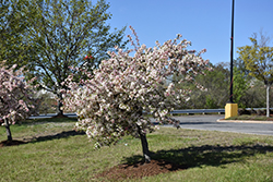 Candymint Flowering Crab (Malus sargentii 'Candymint') at Hartman Companies