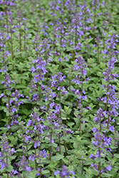 Blue Wonder Catmint (Nepeta x faassenii 'Blue Wonder') at Hartman Companies