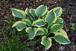Liberty Hosta (Hosta 'Liberty') at Hartman Companies