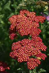 Strawberry Seduction Yarrow (Achillea millefolium 'Strawberry Seduction') at Hartman Companies