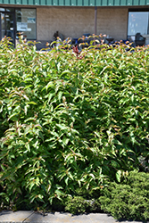 Butterfly Southern Bush Honeysuckle (Diervilla sessilifolia 'Butterfly') at Hartman Companies