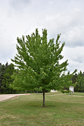 Firefall Maple (Acer x freemanii 'Firefall') at Hartman Companies