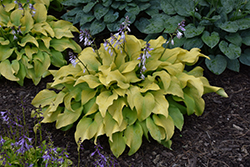 Sun Power Hosta (Hosta 'Sun Power') at Hartman Companies