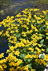 Marsh Marigold (Caltha palustris) at Hartman Companies