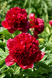 Red Charm Peony (Paeonia 'Red Charm') at Hartman Companies