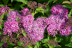Anthony Waterer Spirea (Spiraea x bumalda 'Anthony Waterer') at Hartman Companies