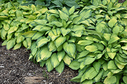 Paul's Glory Hosta (Hosta 'Paul's Glory') at Hartman Companies