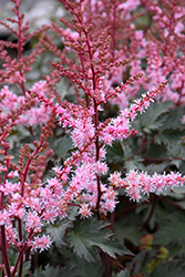 Delft Lace Astilbe (Astilbe 'Delft Lace') at Hartman Companies