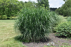 Dewey Blue Switch Grass (Panicum amarum 'Dewey Blue') at Hartman Companies