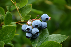 Northcountry Blueberry (Vaccinium 'Northcountry') at Hartman Companies