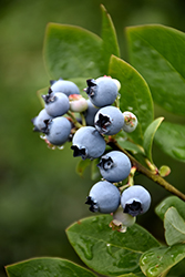 Northblue Blueberry (Vaccinium 'Northblue') at Hartman Companies