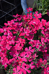 Zing Rose Maiden Pinks (Dianthus deltoides 'Zing Rose') at Hartman Companies