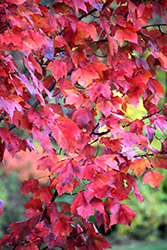 Red Maple (Acer rubrum) at Hartman Companies