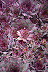 Red Beauty Hens And Chicks (Sempervivum 'Red Beauty') at Hartman Companies