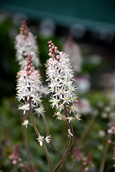 Pink Skyrocket Foamflower (Tiarella 'Pink Skyrocket') at Hartman Companies