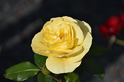 High Voltage Rose (Rosa 'BAIage') at Hartman Companies