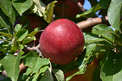 Haralred Apple (Malus 'Haralred') at Hartman Companies